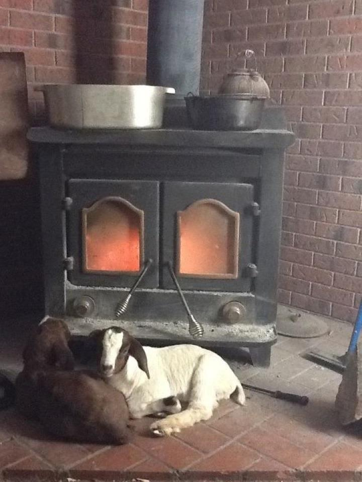 Goat Kids In Front of Fireplace