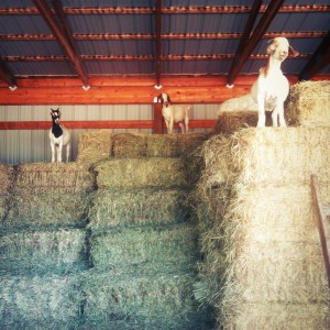 Goats on hay bales