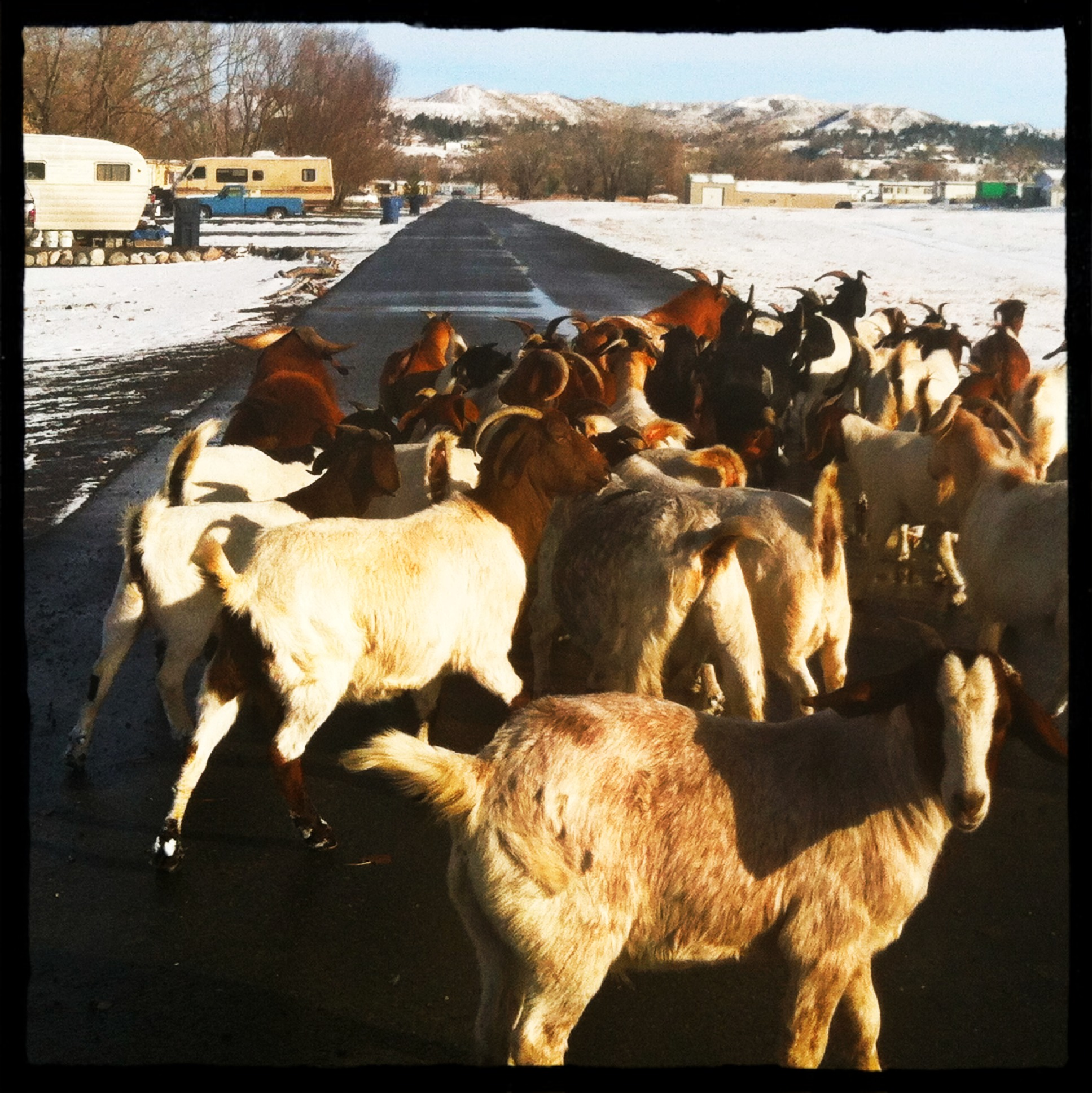 Goats in Trailer Court