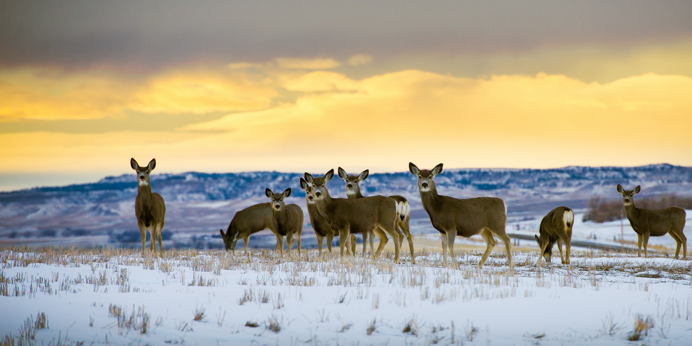 Photo of mule deer does
